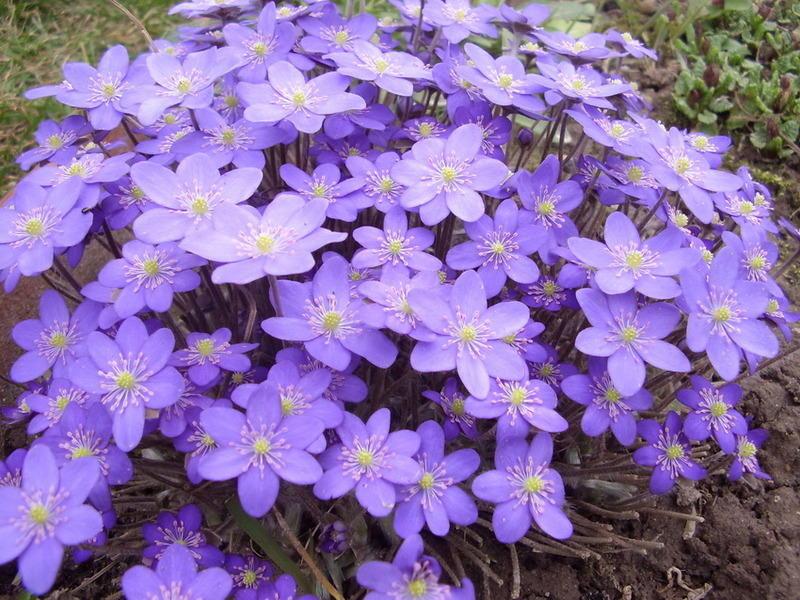 цветок печеночница благородная