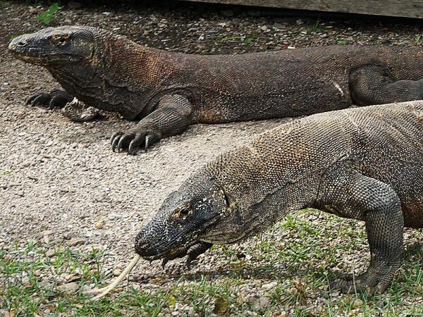Два прекрасных огромных и явно сытых дракона разлеглись в тени егерского домика