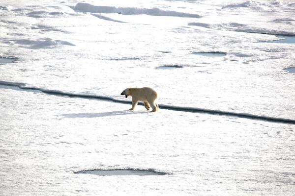 Рявкнув на прощание, медведь удалился вглубь ледяной пустыни