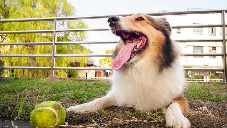 Шелти: что за порода? Собака и её характер