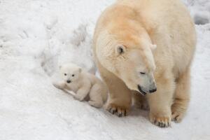 Белый медведь. Какой наземный хищный зверь - самый большой?