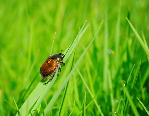 Хлебный жук из рода Кузьки