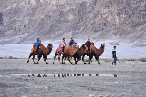 Караванщик ведёт верблюда за нос