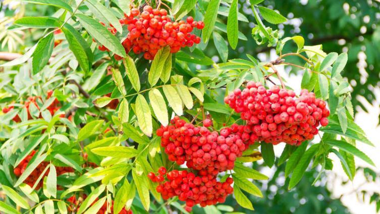 Рябина - дерево от ста печалей. В чём её ценность?