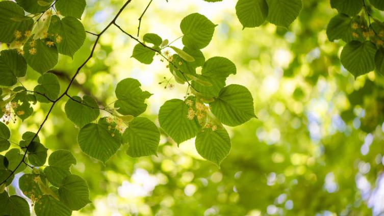 На 1 гектаре липового леса распускается  около полутора тонн цветков с запасом нектара