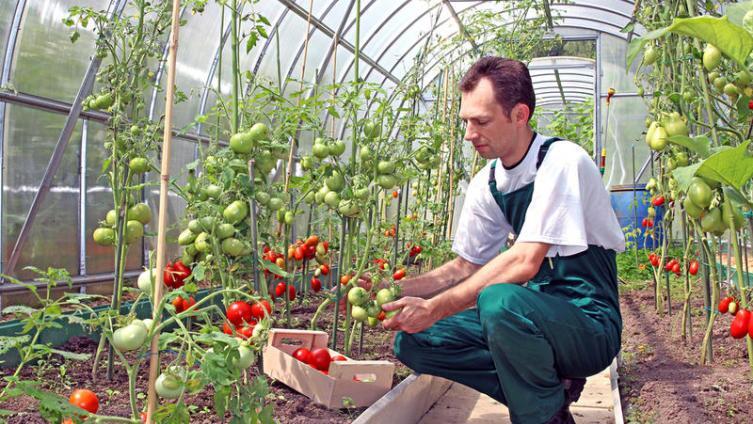 Как успешно выращивать помидоры?