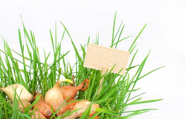 Как вырастить хороший урожай лука?