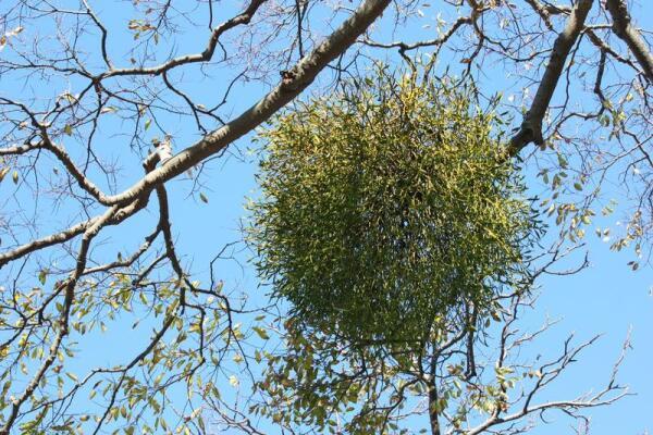 Поселяется омела на деревьях, где разрастается плотным кустом, издали похожим на птичье гнездо