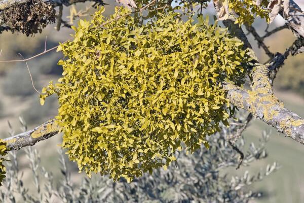 В античные времена омелу называли золотой ветвью