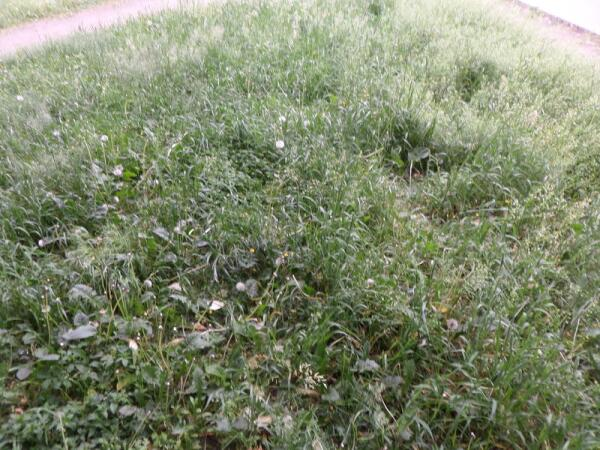 Как выбривание городских газонов вызывает аллергию на живую природу?