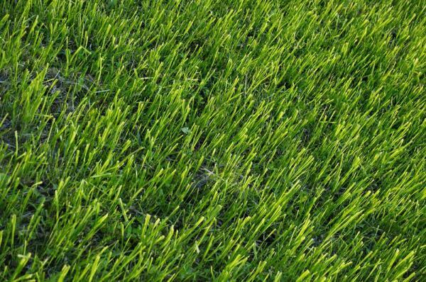 Стрижка, но не бритьё, может сделать траву гуще