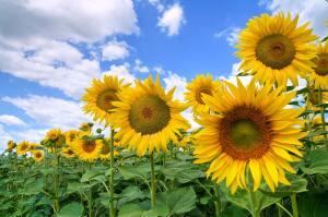 Это приветливое растение стало очень популярным в мире, сначала благодаря своей неповторимой красоте.