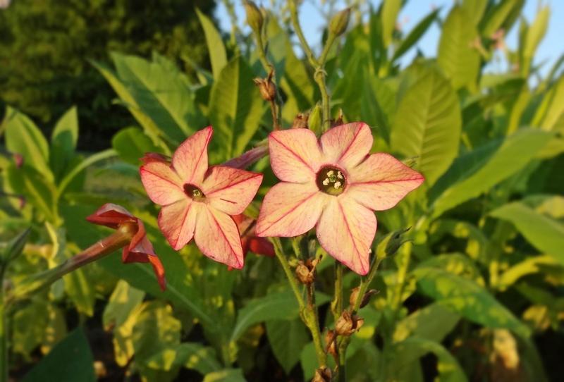 табак душистый фото цветы тебя