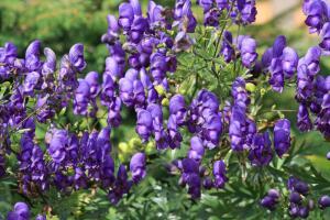 Стоит ли выращивать в саду аконит и дельфиниум?