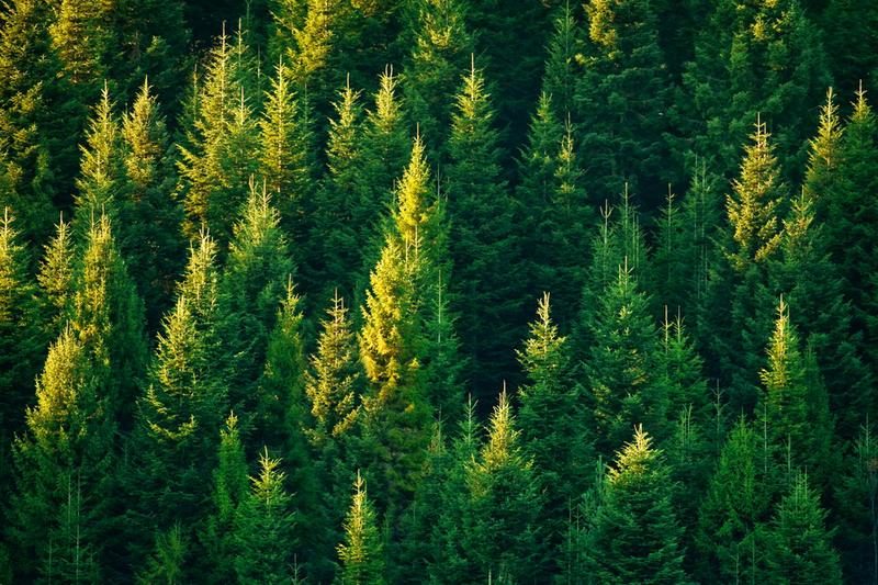 Что мы знаем о деревьях - знаках гороскопа друидов? Пихта.