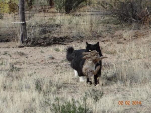 Такс поймал почти взрослого кролика
