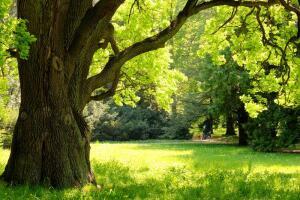 Священное дерево дуб. Какие тайны он хранит?