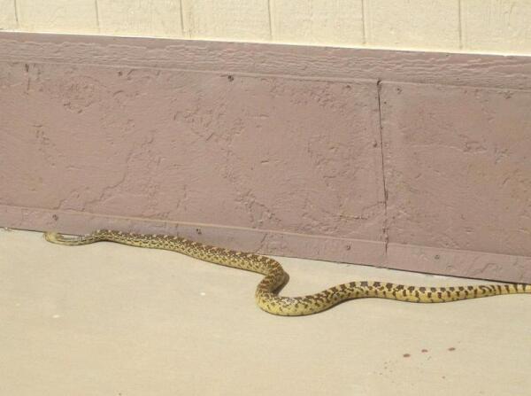 Змея быстро двигалась вдоль дома
