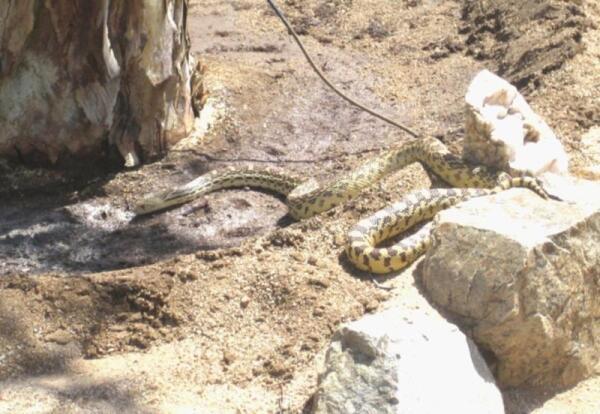 При ближайшем рассмотрении змея оказалась очень симпатичной, с красивым узором. Ее  латинское название Pituophis catenifer
