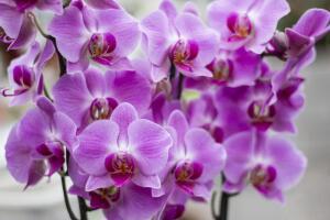 Растут ли у нас орхидеи?