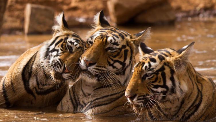Что мы знаем о самых больших кошках? К Международному дню тигра