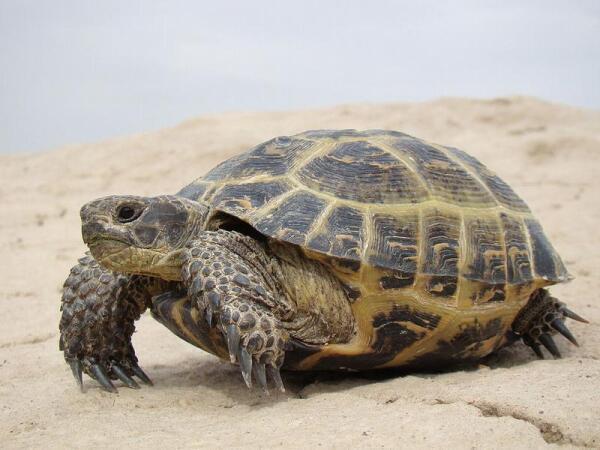 Среднеазиатская степная черепаха.