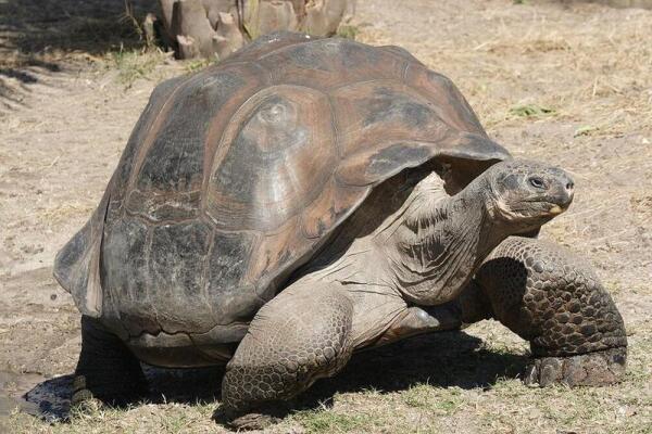 Слоновая черепаха с Галапагосских островов.