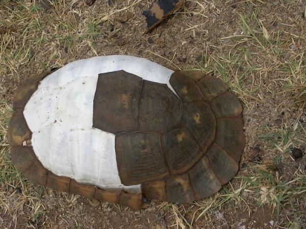 Под отпавшими роговыми щитками черепахи видны костные пластины.