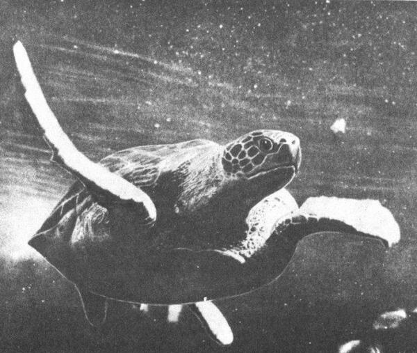 Зелёная морская черепаха.