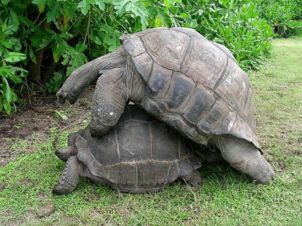 Спаривающиеся слоновые черепахи.