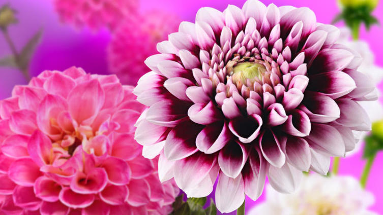 Цветы уходящего лета - георгины. Какие тайны они хранят?