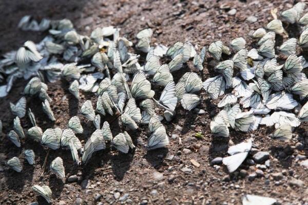 самцы бабочек у высыхающей лужи