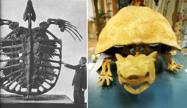 Вымершие черепахи— архелон и миолания.