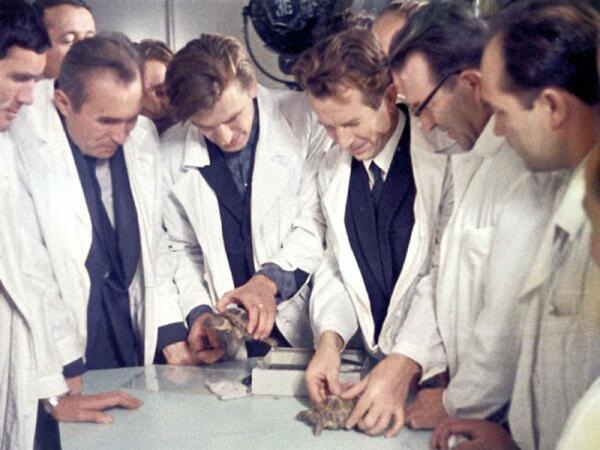 Учёные осматривают черепах, облетевших Луну на корабле «Зонд-5».