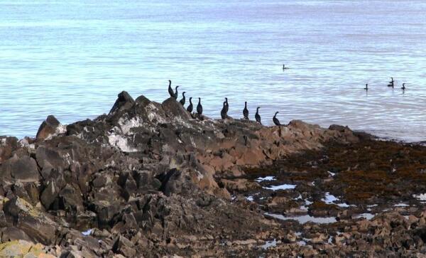 А вот это баклан берингов, да к тому же с острова Беринга