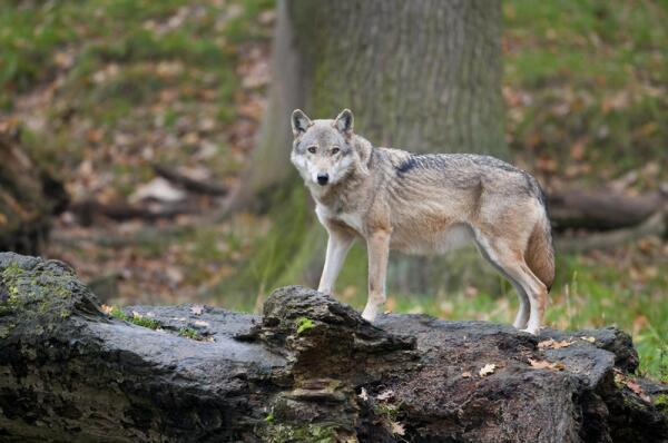 Так ли страшны волки, как их малюют? И как от них отбиваться…