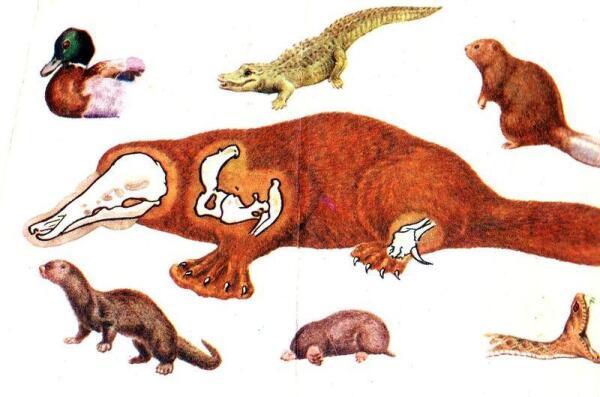 Утконос напоминает игрушку, пошитую из частей разных животных.
