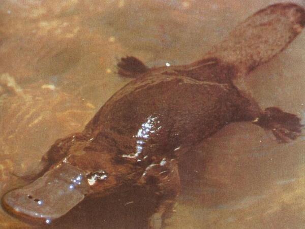 Утконос - водное животное