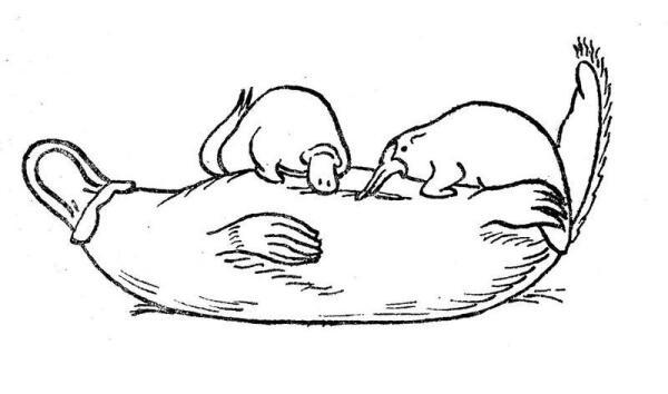 Самка утконоса кормит детёнышей молоком