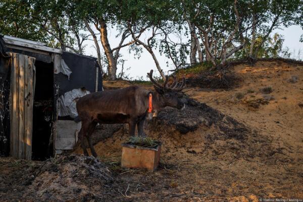 Оленеводство — традиционное занятие саамов
