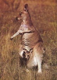 Самка серого кенгуру с детёнышем.