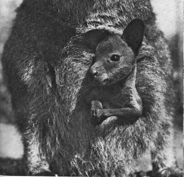 Подросший кенгурёнок - нелёгкая ноша даже для любящей мамы.