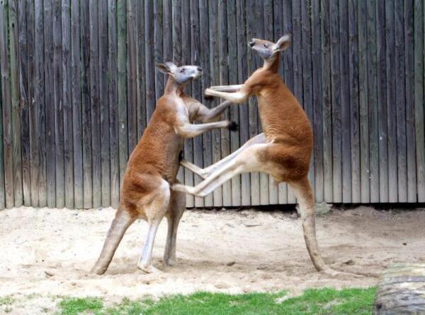 Разборка рыжих кенгуру.