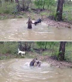 Кенгуру пытается утопить собаку
