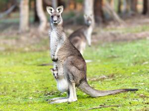Зачем кенгуру сумка?
