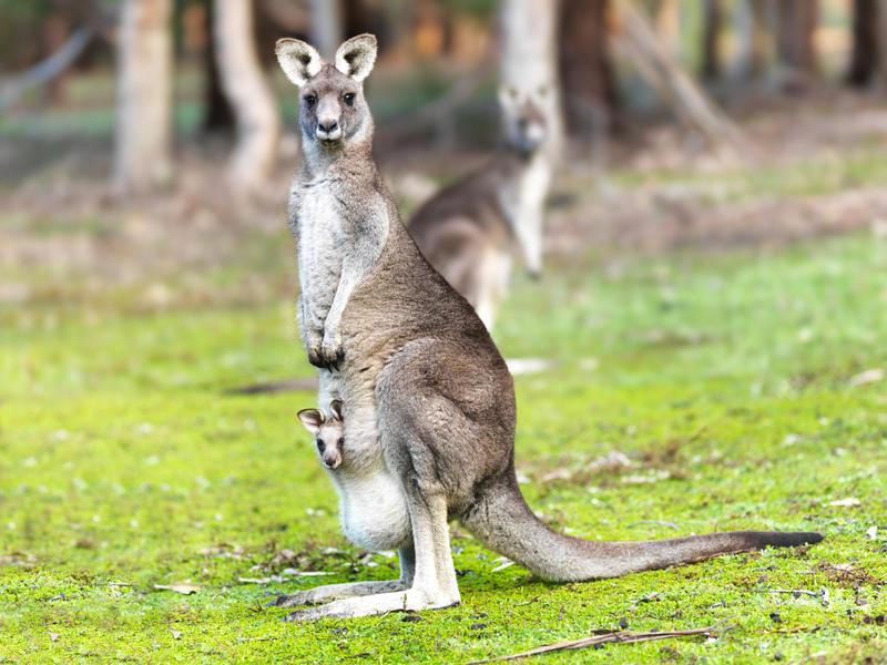 f98233d1fde2 Зачем кенгуру сумка? | Животные | ШколаЖизни.ру