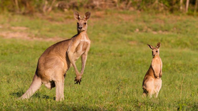 Чем интересны кенгуру кроме сумок?