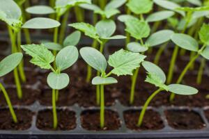 Как вырастить огурцы на подоконнике?