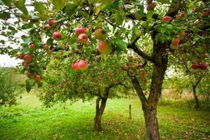 Как вырастить яблоню в городе?