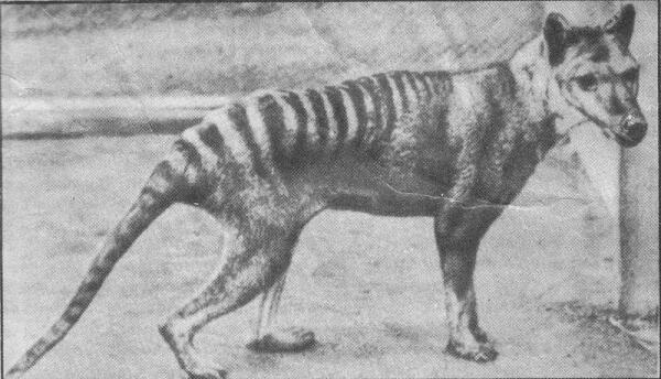 Сумчатый волк в зоопарке